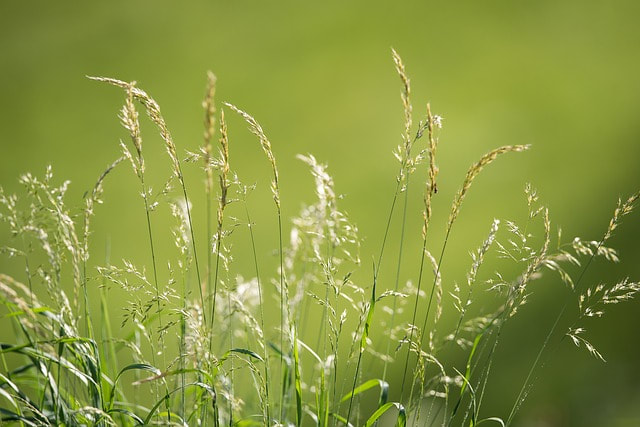 Advice on grass seed heads in the lawn